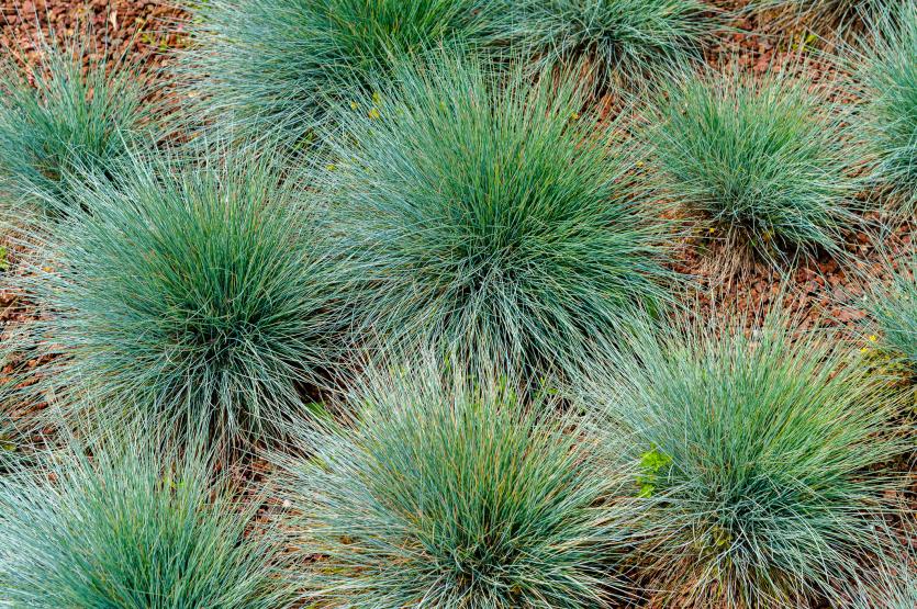 trawy ozdobne - kostrzewa popielata