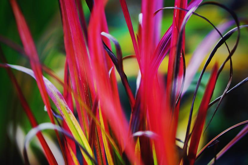 trawy ozdobne - imperata cylindryczna Red Baron