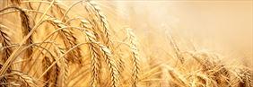 siewy zbóż, Agro-Complex Przedsiębiorstwo doradcze, Złotniki Kujawskie