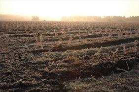 Pole z roślinami, Henryk Hinca mgr inż. Gospodarstwo szkółkarskie, Piła