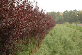 Czerwone drzewka, Henryk Hinca mgr inż. Gospodarstwo szkółkarskie, Piła