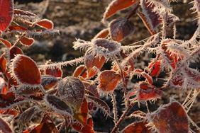 Kolorowe liście pokryte szronem, Henryk Hinca mgr inż. Gospodarstwo szkółkarskie, Piła