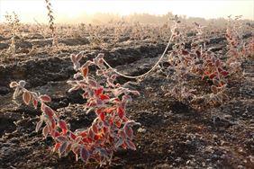 Oszronione rośliny, Henryk Hinca mgr inż. Gospodarstwo szkółkarskie, Piła