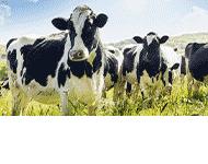 Skup i sprzedaż zwierząt rzeźnych i hodowlanych Krzysztof Zbrzeźniak