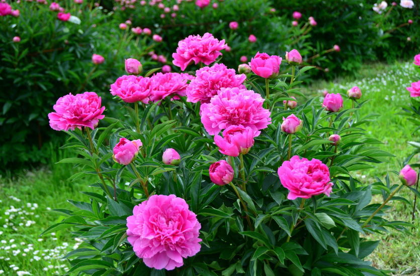 Wymarzony ogród. Jak wybrać i pielęgnować krzewy ozdobne?