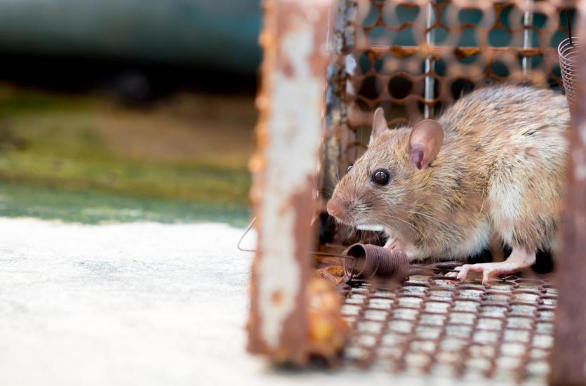 Zwalczanie gryzoni – jak przebiega skuteczna deratyzacja?