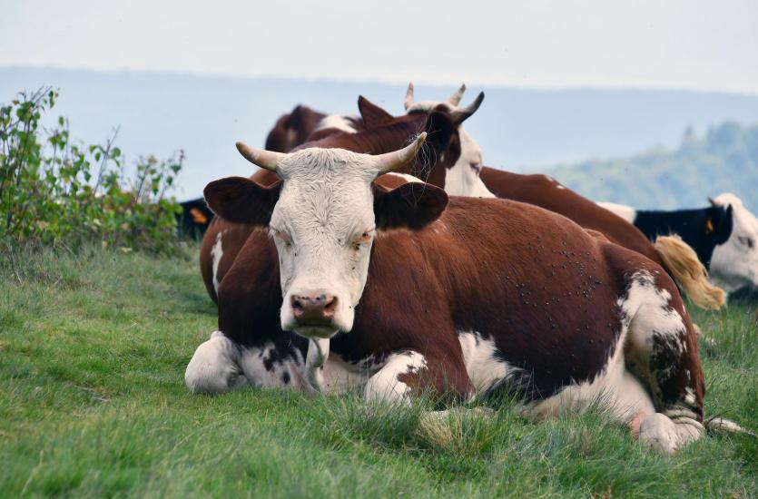Pasze dla bydła o wysokich wskaźnikach odżywczych
