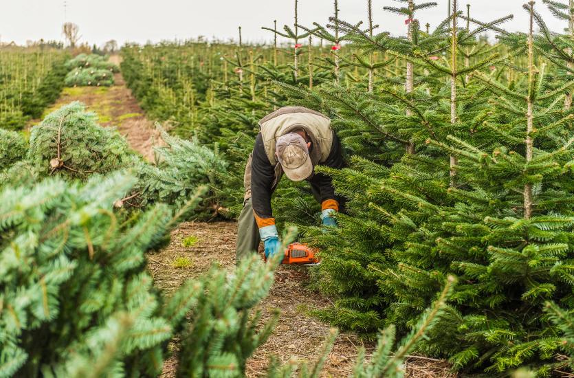 Typy drzew w ofercie szkółki Janusza Szycy
