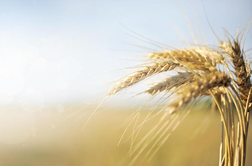 Kalendarz siewu zbóż