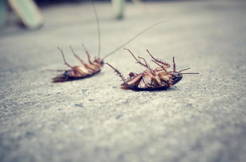 Jak zwalczyć karaluchy?