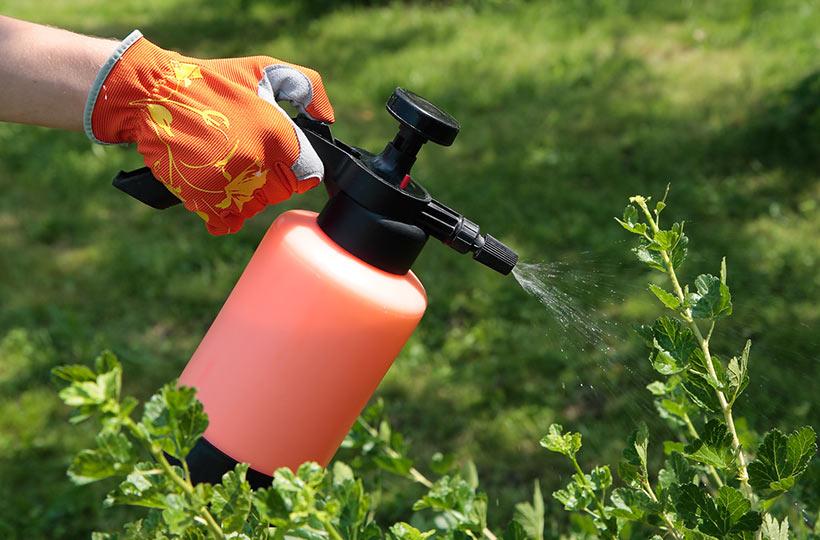 Jak walczyć ze szkodnikami krzewów owocowych?