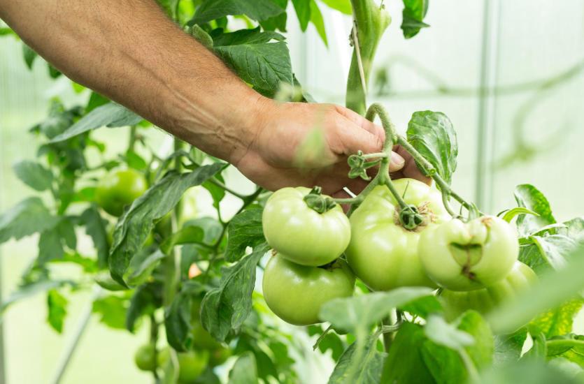 W jaki sposób hodowane są najlepsze pomidory szklarniowe?