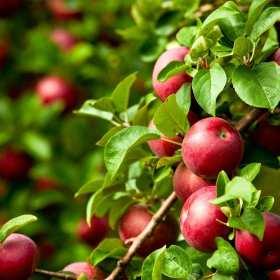 Jakie zadanie spełniają podkładki wegetatywne pod drzewka owocowe?