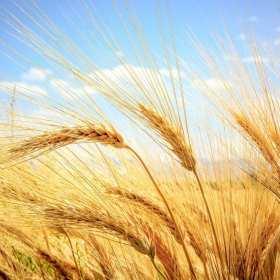 Najpopularniejsze rodzaje zbóż ozimych
