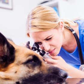 Jak wyleczyć zapalenie spojówek u psa?