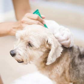 Jak usunąć kleszcza u psa?