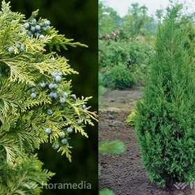 Krzewy iglaste – sprawdzony sposób na piękny ogród
