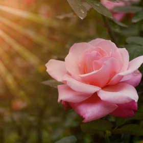 Jak dobrać rośliny towarzyszące różom?