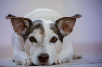 Najczęstsze wady zgryzu u psów