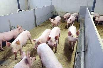 Produkcja wysokiej jakości wieprzowiny – nowoczesna tuczarnia