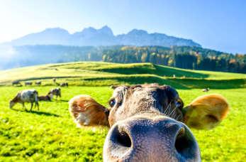 Premiksy przy hodowli zwierząt – bydła, drobiu i trzody chlewnej