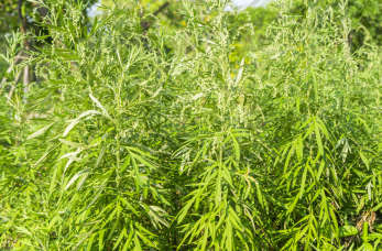 Jak leczyć alergię na bylice?