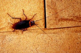 Jak wygląda karaluch?