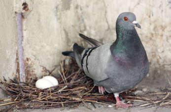 Czy hodowla gołębi jest prostym hobby?