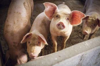 Różyca świń – jak radzić sobie z tą chorobą trzody chlewnej? Poradnik