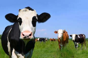 Ekologiczne mleko i mięso jest lepsze? Poznaj najnowsze badania
