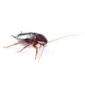 Zwalczanie karaluchów i prusaków